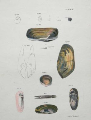 """Shells, Natural History Of New York Plate 32"" Endicott Lithograph. This Antique Natural History Print is For Sale"