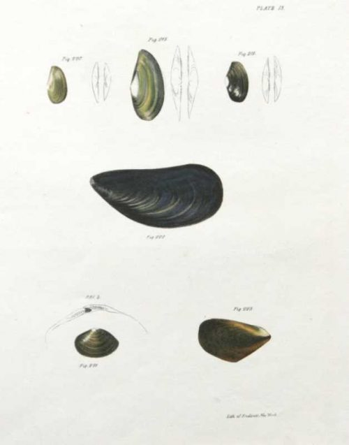 """""""Shells, Natural History of New York 13"""" An Endicott Lithograph. This Antique Natural History Print Is On Sale."""