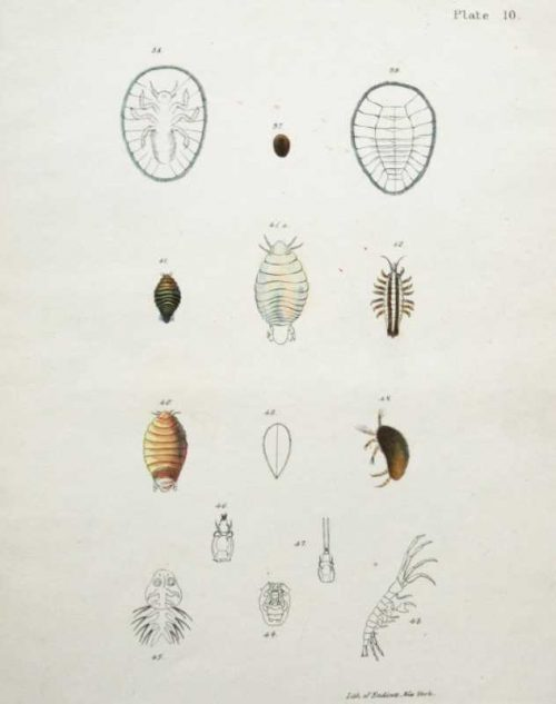 Plate 10 from Shells Natural History of New York in the Zoological Report of the New York State published by the noted Amercian zoologist James Ellsworth Dekay (1792-1851) and drawn by Endicott.