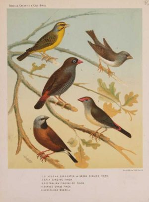 """St.Helena Seed Eater Grey Singing Finch Australian Fire Tailed Finch Banded Grass Finch Australian Waxbill"" 19th Century chromolithograph Antique Print by artist William Rutledge Of Pigeons and Canaries For Sale."