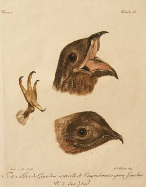 """Tetes De Grandeur Naturelle De L'Engoulevant A'Queue Fourchue (Great Potoo) A Levaillant Francois Etching For Sale"