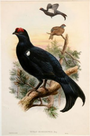 """Tetrao Mlokosiewiczi (Caucasian Black Grouse)"" A Gould John Hand Colored Lithograph Print For Sale"