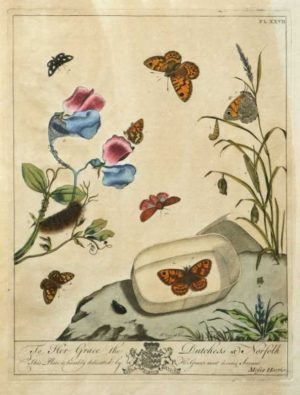 """The Aurelian, A Natural History of English Moths and Butterflies Plate XXVII"" A Harris Moses Hand Colored Engraving"