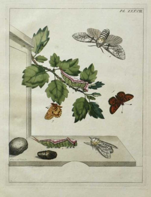 """""""The Aurelian, A Natural History of English Moths and Butterflies Plate XXXVIII"""" By Harris Moses Hand Colored Engraving On Sale"""