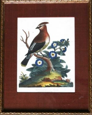 """The Crested Chatterer Of America"" An Edwards George Hand Colored Etching Print For Sale"