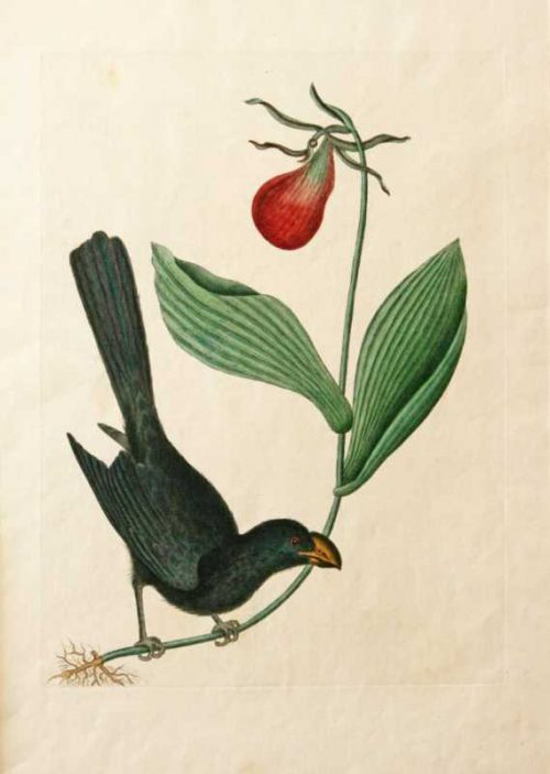 """""""The Razor Billed Black Bird Of Jamaica"""" A Catesby Mark Hand Colored Etching Print For Sale"""