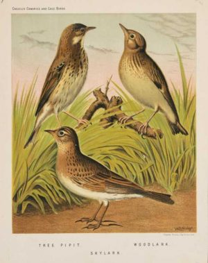 """Tree Pipit, Skylark, Woodlark"" A Rutledge William Chromolithograph Print For Sale"