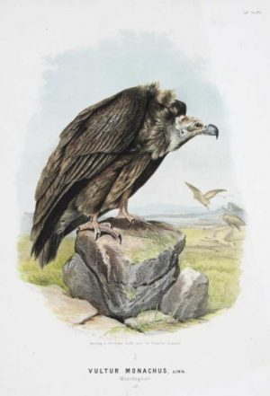 """Vultur Monachus (Great Brown Vulture)"" A Riesenthal Oskar Von Chromolithograph Print For Sale"