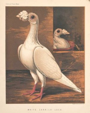 """White Carrier Cock"" Ludlow. J.W. Chromolithograph Print"