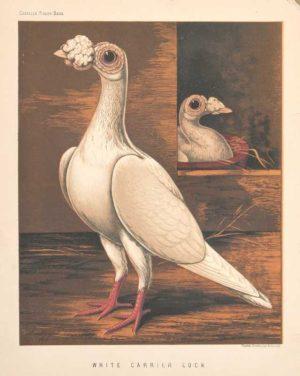 """White Carrier Cock"" Ludlow. J.W. Chromolithograph Print"