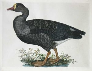 """White Fronted Wild Goose Plate XLII"" A Selby, Prideaux John Hand Colored Engraving Print For Sale"