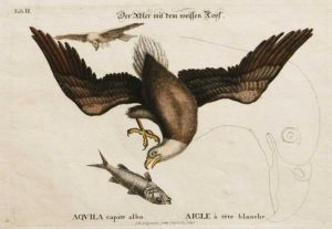 """White Headed (Bald) Eagle With Fish And Sketch Of Head"" A Catesby Mark Hand Colored Etching Print"