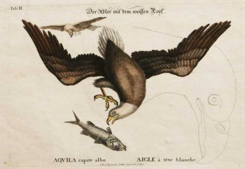 """""""White Headed (Bald) Eagle With Fish And Sketch Of Head"""" A Catesby Mark Hand Colored Etching Print"""
