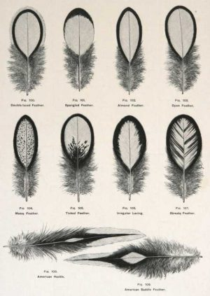 """Wyandotte Feathers"" AWright Lewis Wood Engraving Print For Sale"