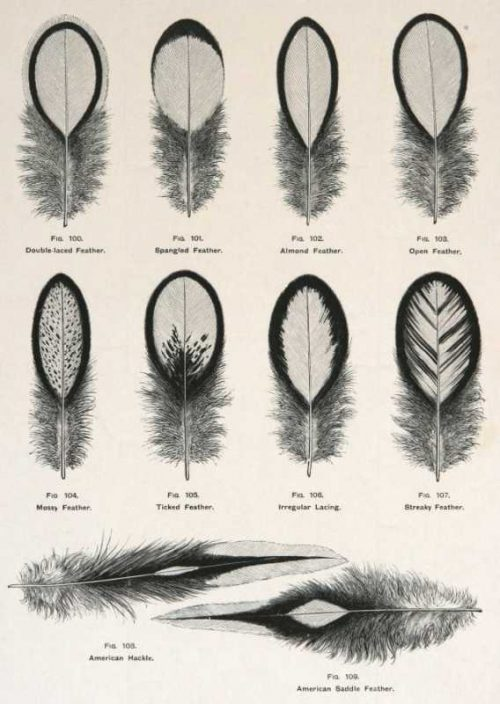 """""""Wyandotte Feathers"""" AWright Lewis Wood Engraving Print For Sale"""