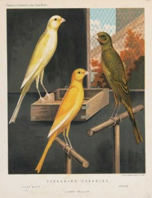 """Yorkshire Canaries, Clear Buff, Clear Yellow, Green"" A Ludlow, J.W. Chromolithograph Print For Sale."