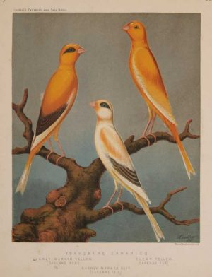 """Yorkshire Canaries, Evenly Marked Yellow, Clear Yellow, Evenly Marked Buff"" A Ludlow, J.W. Chromolithograph Print For Sale"